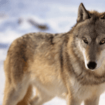 Gray wolf snow WildEarth Guardians
