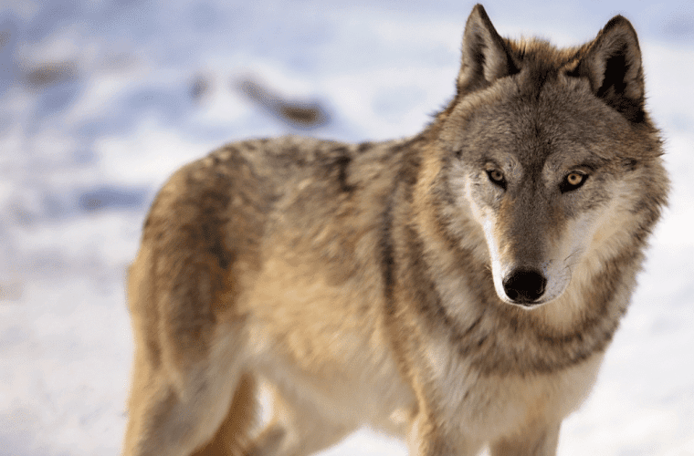 We are going to court to save the gray wolf