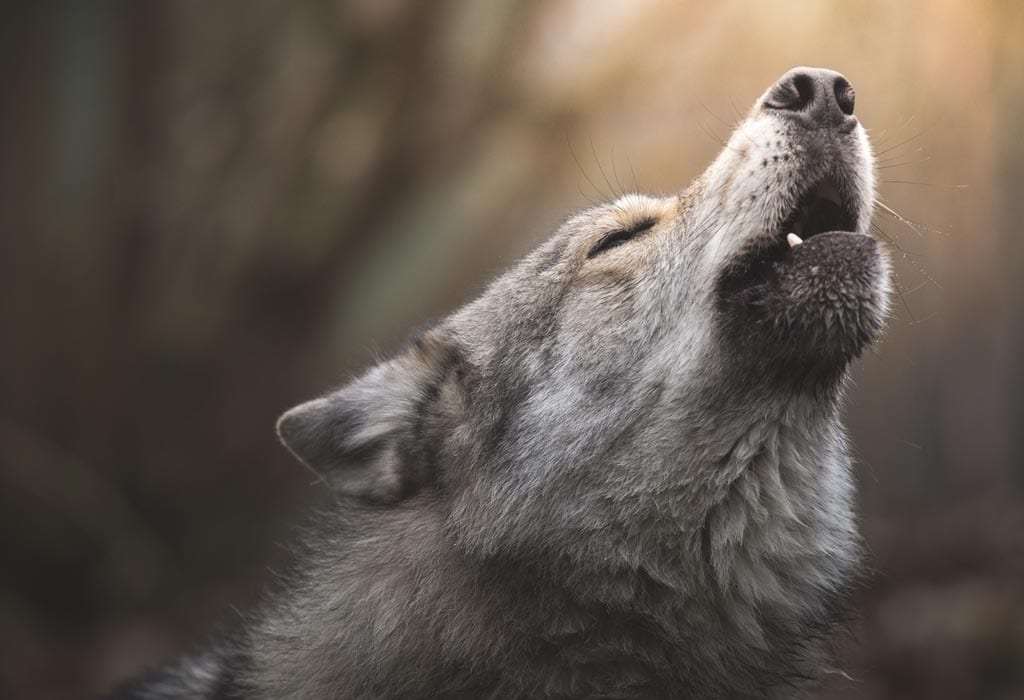 Howling Wolf close WildEarth Guardians