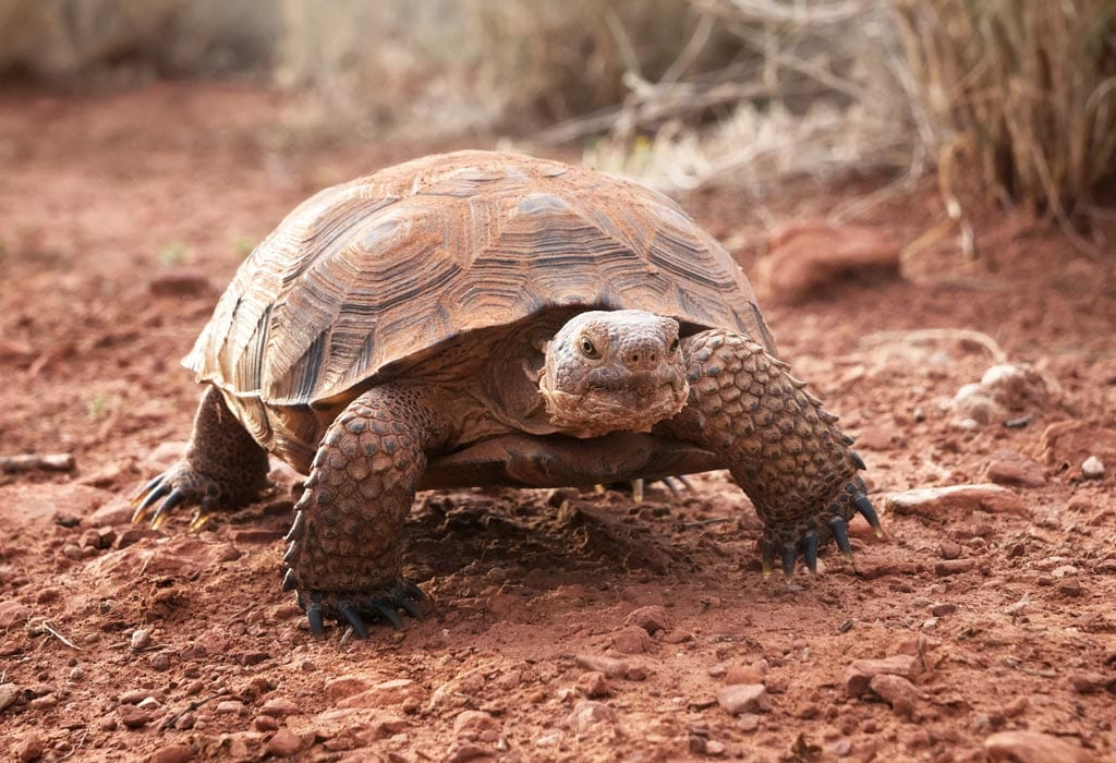 desert tortoise WildEarth Guardians