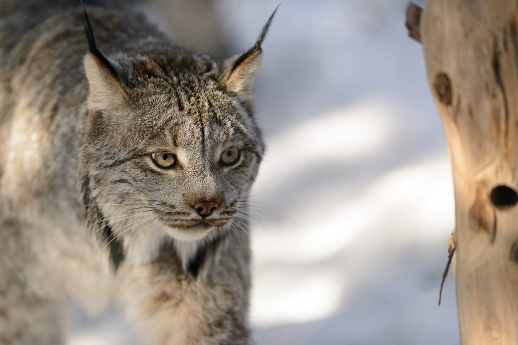 The Canada lynx is protected under the Endangered Species Act as a threatened species. Photo by Eric Kilby.