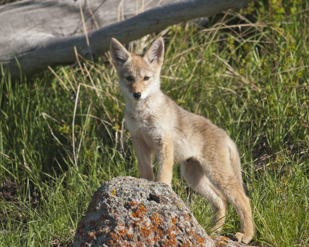 Coyote by Sam Parks