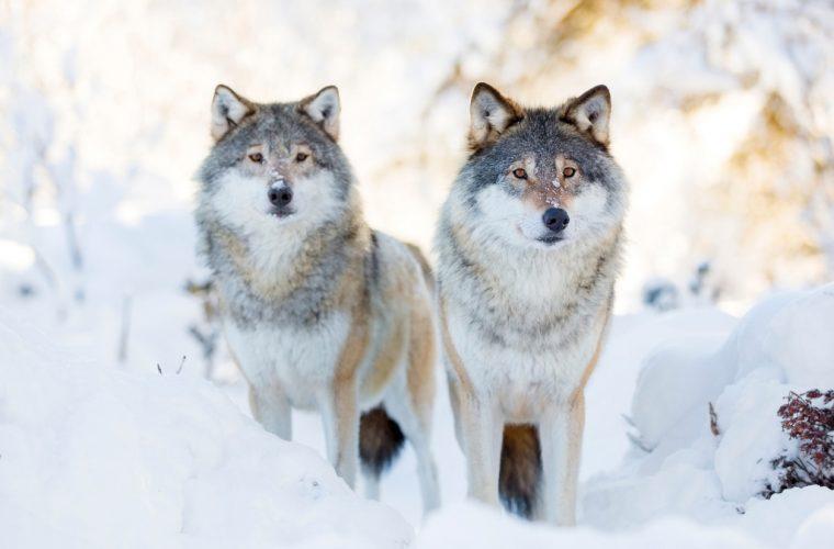 Speak up for Colorado's wolves