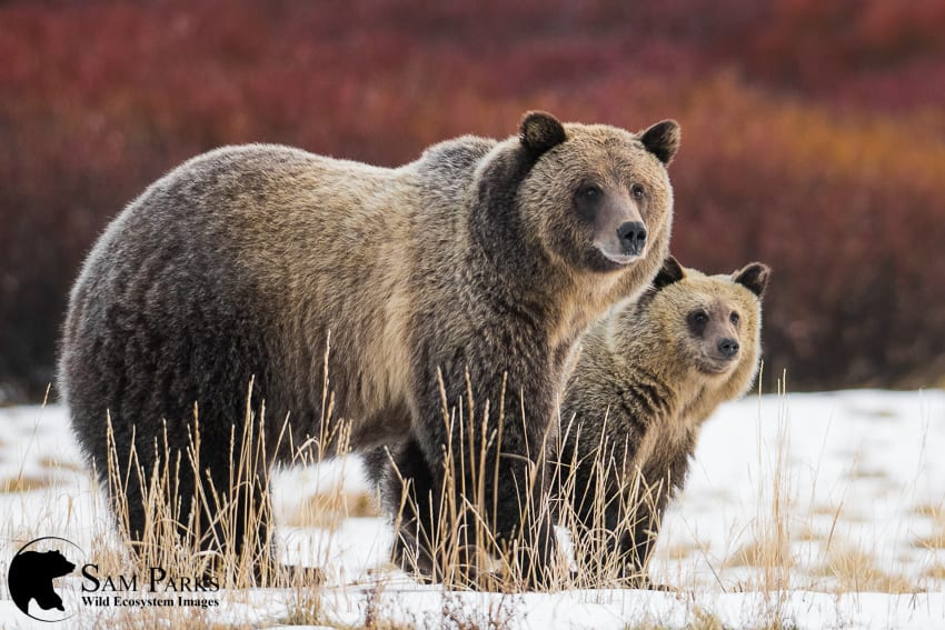 Grizzly bear Yellowstone Sam Parks