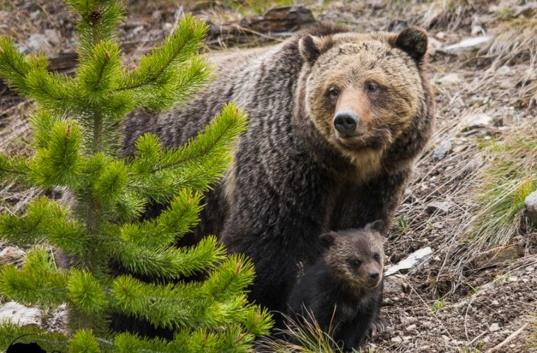 Guarding the Great Bear, together