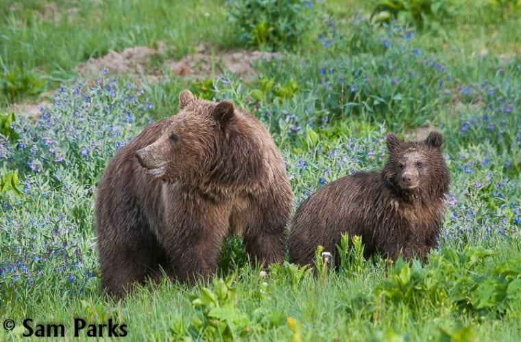 Guardians in court defending grizzly bears