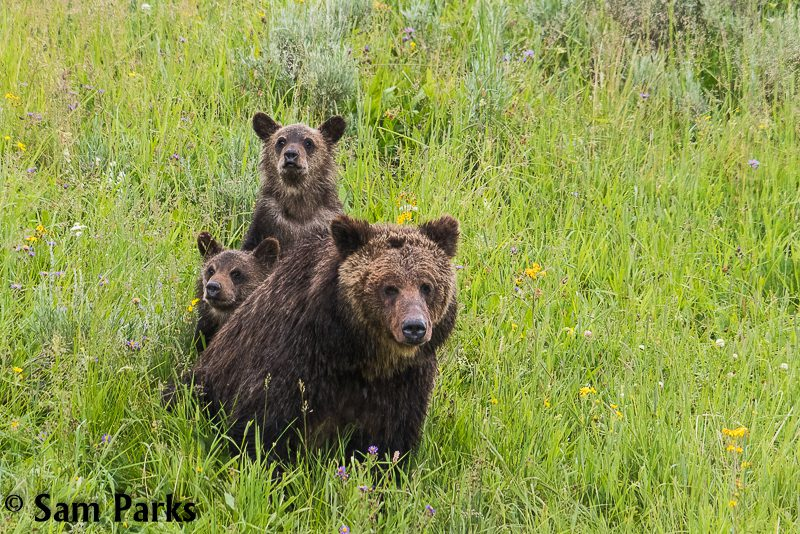 Yellowstone grizzly bear and cubs by Sam Parks