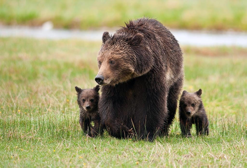 Female grizzly bear with cubs. Photo by Sam Parks.
