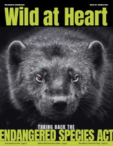 Wild at Heart #39 cover