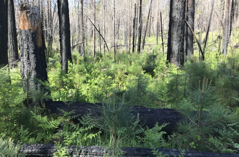 WildEarth Webinar: Fire and Forest Ecology in the American West