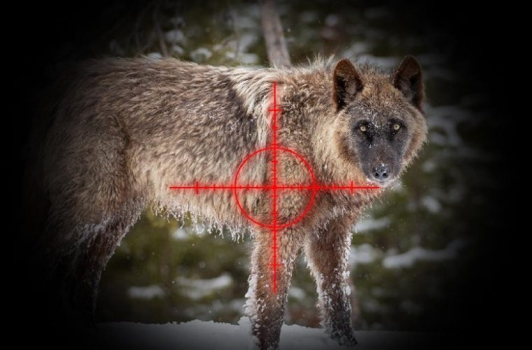 Trophy hunters have Yellowstone's wolves in their crosshairs